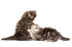 Fluffy little kittens played Stock Photos