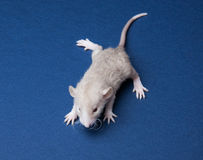 Fluffy little rat Royalty Free Stock Photo