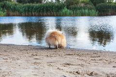 Fluffy little red dog drinks water from lake Royalty Free Stock Photography