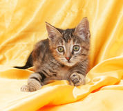 Fluffy little tricolor kitten lies on yellow Stock Photography