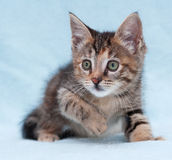 Fluffy little tricolor kitten sitting  on blue Royalty Free Stock Photos