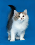 Fluffy little white kitten with spots standing on blue Royalty Free Stock Photos