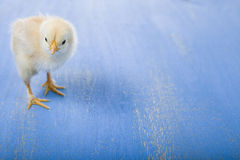 Fluffy little yellow chicken on a blue wooden background. Card f Royalty Free Stock Photography