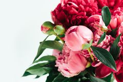 Fluffy  living coral  peonies, flowers background stock image