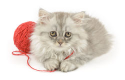 Fluffy longhair kitten with red clew Stock Image