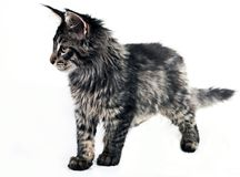 Fluffy Maine Coon kitten Stock Image