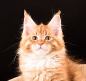 Maine Coon kitten. Fluffy Maine Coon kitten over black background Stock Images