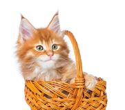 Maine Coon kitten. Fluffy Maine Coon kitten in the wicker basket isolated over white background Stock Photos