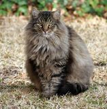 Fluffy Maine Coon Mix. Fluffy-haired Maine Coon mix Royalty Free Stock Photo