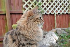Fluffy Mainecoon cat Royalty Free Stock Photo