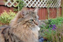 Fluffy Mainecoon cat Stock Photography