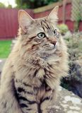 Fluffy Mainecoon cat Stock Photos