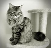 Fluffy Mainecoon cat Stock Images