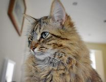 Fluffy Mainecoon cat Royalty Free Stock Images