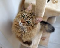 Fluffy Mainecoon cat Royalty Free Stock Image