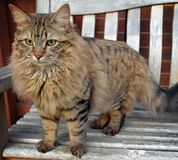 Fluffy Mainecoon cat Stock Image
