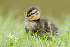 A fluffy Malard Duckling royalty free stock photo
