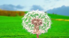 Fluffy mature dandelion against the background of a landscape. Fluffy mature dandelion against the background of a green landscape stock video