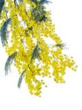 Fluffy mimosa Stock Photos