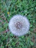 fluffy mniszek zdjęcie royalty free