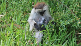 Fluffy monkey with a baby. Fluffy monkey with a baby in his arms Stock Photo