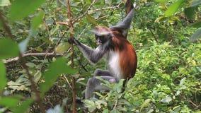 Fluffy monkey. Fluffy monkey hiding in leaves Stock Images