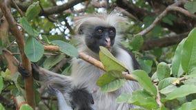 Fluffy monkey. Little fluffy monkey hiding in leaves Royalty Free Stock Photos