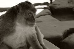 Fluffy monkey with a very wise, thoughtful expression on his face. Pensive animal. Brothers in mind.  stock photos