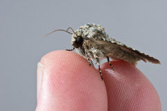 Fluffy Moth. Closeup of a young small moth sitting a pair of fingers Stock Image