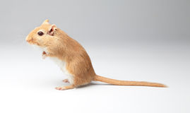 Fluffy mouse Royalty Free Stock Photo