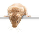 Fluffy mouse looking down Royalty Free Stock Images