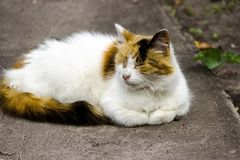 Fluffy multicolored cat sitting on road. Cat has interesting original fur color. Pictured in the photo Cat has interesting original fur color stock photography