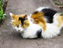 Fluffy multicolored cat sitting on road. Cat has interesting original fur color. Pictured in the photo Cat has interesting original fur color stock photo