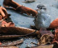 Fluffy new sparrow Stock Photography