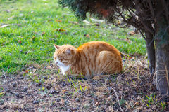 Fluffy orange cat sleeping under a tree on the grass. Fluffy orange cat sleeping under a tree on the grass Stock Images
