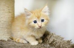 Fluffy Orange Long Hair Kitten With Blue Eyes Stock Photos