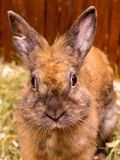 Fluffy orange rabbit. Growing and selling rabbits_. Fluffy orange rabbit. Growing and selling rabbits royalty free stock images