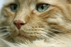 Fluffy Orange and White Cat Closeup royalty free stock photography