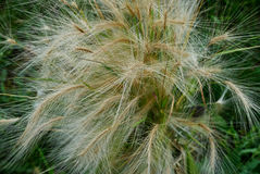Fluffy ornamental grass with spikelets Royalty Free Stock Images
