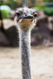 Fluffy ostrich head Stock Image