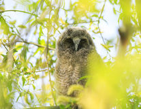 fluffy owl looks sitting among the bright foliage in a Sun royalty free stock images