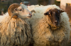 A fluffy pair of an ewe and a ram. A pair of fluffy, unsheared ewe and ram are seen covered with lots of wool Stock Images