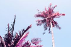 Fluffy palm tree crown on sunny blue sky background. Retro blue pink toned photo. Stock Images