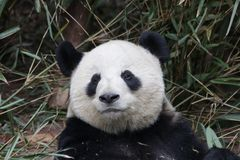 Fluffy Panda Bear in Chengdu , China. Cute and Funny Action of Giant Panda in Chengdu ,Panda laying on the Ground and eating Bamboo Leaves royalty free stock photos