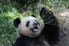 Fluffy Panda Cub in Chongqing is eating Bamboo Leaves. Giant Panda is eating Bamboo Stock Image