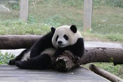 Playful Panda Cubs in Chongqing, China Royalty Free Stock Photos