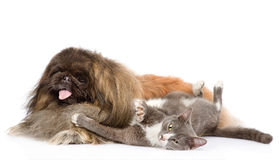 Fluffy Pekingese dog and playful cat together. isolated on white Stock Photos