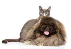 Fluffy Pekingese and kitten. isolated on white background Royalty Free Stock Images