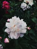 Fluffy Peony Flowers in Bloom royalty free stock photo