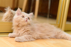 Fluffy Persian kitten Royalty Free Stock Images